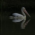 Pelican, early morning ,Purnong,S.A. by elphonline