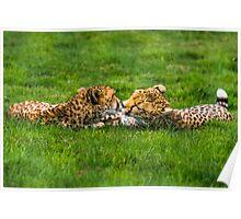 Kissing Cheetahs Poster