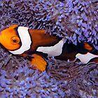 False Clown Anemonefish by Robbie Labanowski