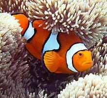 False Clown Anemonefish #2 by Robbie Labanowski