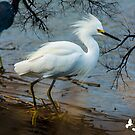 Snowy Egret by TJ Baccari Photography