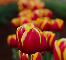Tulips@Tesselaar Festival by Kafindlay