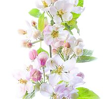 Apple Blossom by Jacky Parker