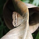 Orange Bush-Brown Butterfly (Mycalesis terminus) - Port Douglas, Queensland by Dan & Emma Monceaux