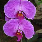 Orchids of Okinawa by Heather Conley