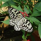 Butterfly in Okinawa by Heather Conley