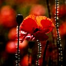 poppy flower no 17 by Falko Follert