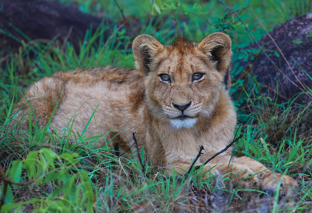 Lion Cub by Cameron B