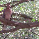 Dove in (appropriately) Olive Tree by Ian Ker