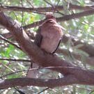 Dove in (appropriately) Olive Tree (2) by Ian Ker