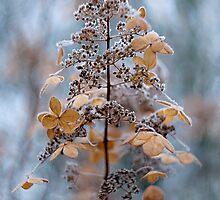 Winter lace by Jacky Parker