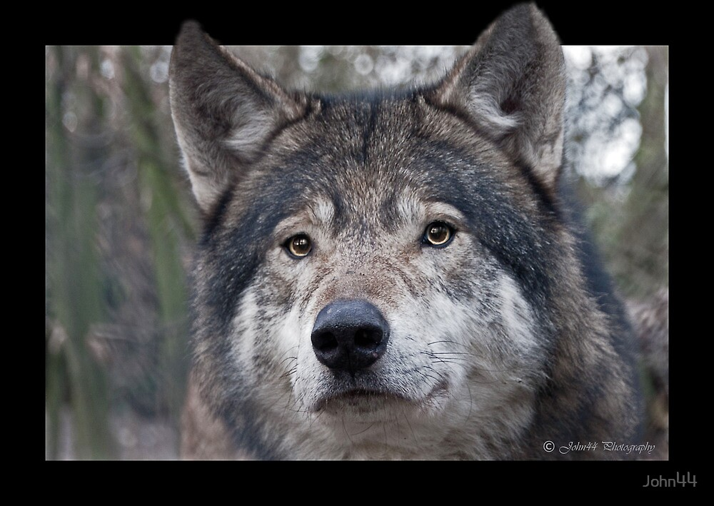 Wolf encounter of the first kind  by John44