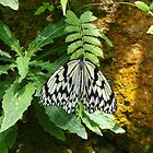 Butterfly in Okinawa 2 by Heather Conley