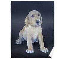 Labrador Pup Poster
