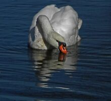 Sipping Swan by Annette  Clark