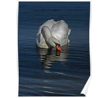 Sipping Swan Poster