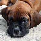 Boxer Dog by Johnny Furlotte