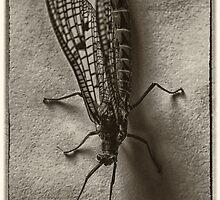 mayfly by clayton  jordan