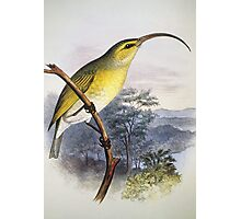 01200-33310-70 Greater Akialoa Bird Photographic Print