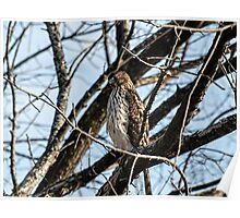 Sharp-Shinned Hawk 1 Poster
