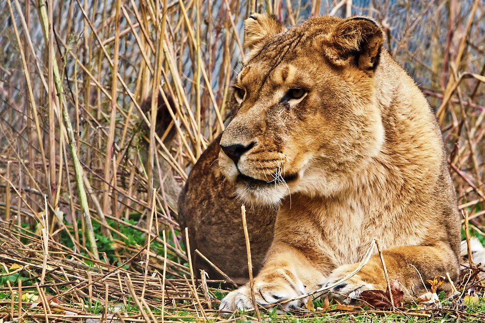 Queen Of The Jungle by Scott Wood