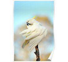 Sulphur Cockatoo At Cedar Creek. Queensland, Australia. (2) Poster