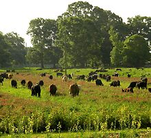 Cows 01 by jessicacbarker