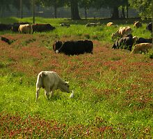 Cows 02 by jessicacbarker