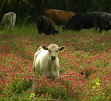 Cows 03 by jessicacbarker