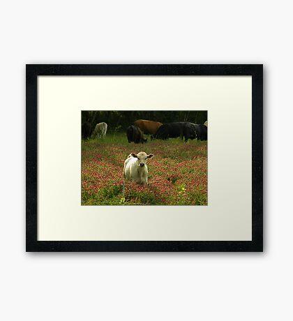 Cows 03 Framed Print