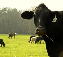 Cows 04 by jessicacbarker