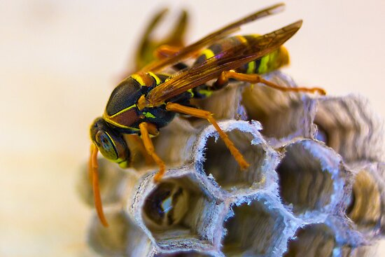 Paper Wasp by Todd Kluczniak