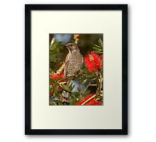 Brush Wattlebird Framed Print
