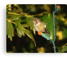 Hummingbird for the Holidays Canvas Print