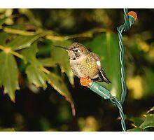 Hummingbird for the Holidays Photographic Print