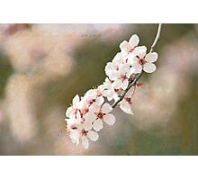 Cherry Blossoms Branch Photographic Print