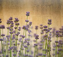 Field of Lavender by pencreations