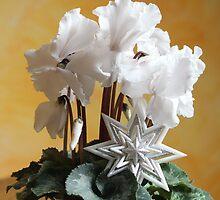 White Cyclamen  by karina5