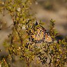 Monarch beauty by Bonnie Pelton