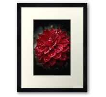 blood red.... soaked with raindrops Framed Print