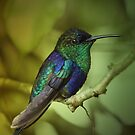 Hummingbird by jimmy hoffman
