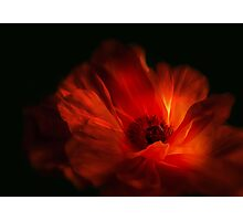 Mohnblüte bei Nacht - Poppy flower at night Photographic Print