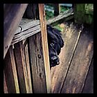 Newfoundland peeking by Nicole  Scholz