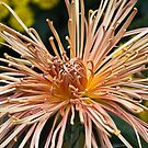 Fall Spider Mum  by Jeanie93
