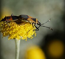 An Aussie Harlequin Bug in Macro (1) Mating Adults by Larry Lingard-Davis