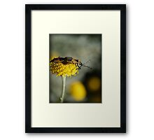 An Aussie Harlequin Bug in Macro (1) Mating Adults Framed Print