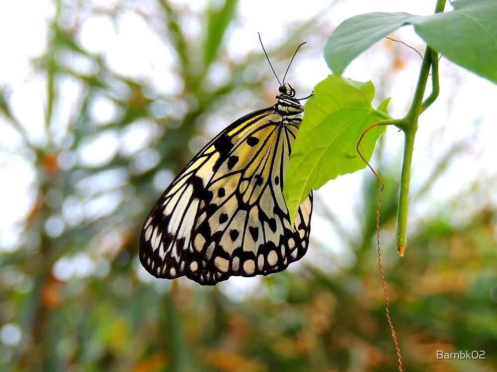 Tree Nymph Butterfly by Barnbk02