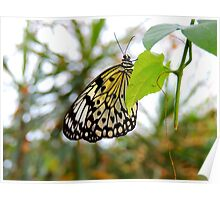 Tree Nymph Butterfly Poster