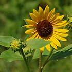 Sunflower by mcstory