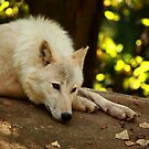 Arctic Wolf: Contemplative by Daniela Pintimalli